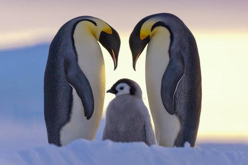 penguins - parent love