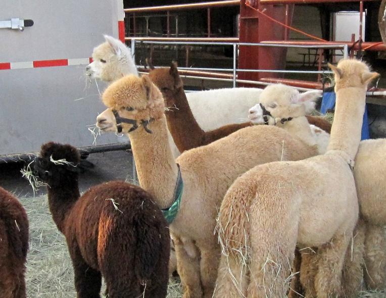 alpaca_llama_blog