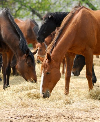 horses-eating-hay
